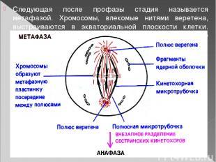 Следующая после профазы стадия называется метафазой. Хромосомы, влекомые нитями