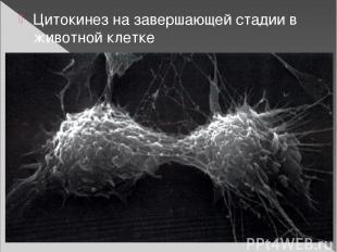 Цитокинез на завершающей стадии в животной клетке