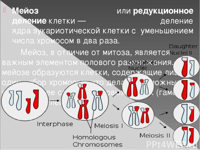 Мейоз илиредукционное делениеклетки— деление ядраэукариотическойклеткис уменьшением числахромосомв два раза. Мейоз, в отличие от митоза, является важным элементом полового размножения. При мейозе образуются клетки, содержащие лишь один набо…