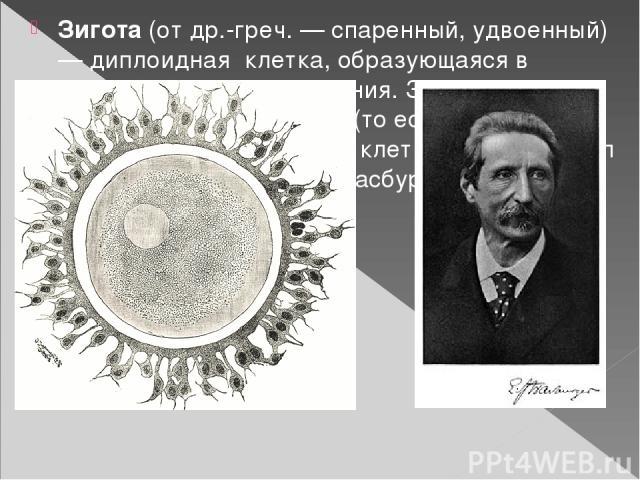 Зигота(отдр.-греч. — спаренный, удвоенный) —диплоидная клетка, образующаяся в результатеоплодотворения. Зигота являетсятотипотентной(то есть, способной породить любую другую)клеткой. Термин ввёл немецкий ботаникЭ. Страсбургер.