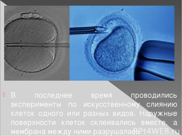 В последнее время проводились эксперименты по искусственному слиянию клеток одного или разных видов. Наружные поверхности клеток склеивались вместе, а мембрана между ними разрушалась. В других экспериментах клетка разделялась на компоненты, например…