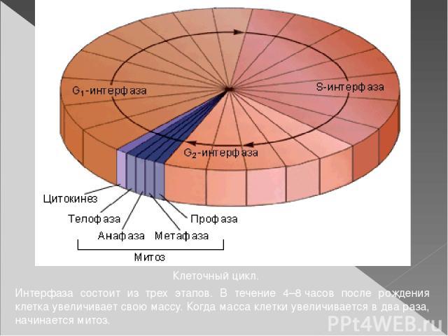 Клеточный цикл. Интерфаза состоит из трех этапов. В течение 4–8часов после рождения клетка увеличивает свою массу. Когда масса клетки увеличивается в два раза, начинается митоз.