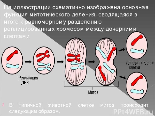В типичной животной клетке митоз происходит следующим образом. На иллюстрации схематично изображена основная функция митотического деления, сводящаяся в итоге к равномерному разделению реплицированных хромосом между дочерними клетками