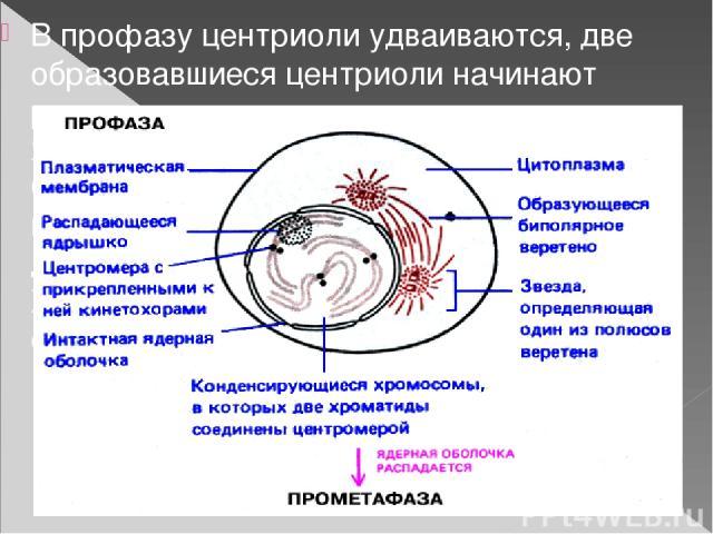 В профазу центриоли удваиваются, две образовавшиеся центриоли начинают расходиться к разным полюсам клетки. Ядерная мембрана разрушается. Специальные микротрубочки выстраиваются от одной центриоли к другой, образуя веретено деления. Хромосомы разъед…