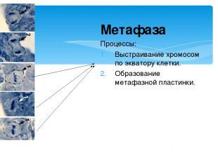 Метафаза Процессы: Выстраивание хромосом по экватору клетки. Образование метафаз