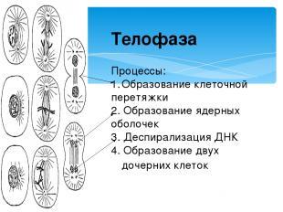 Телофаза Процессы: Образование клеточной перетяжки 2. Образование ядерных оболоч