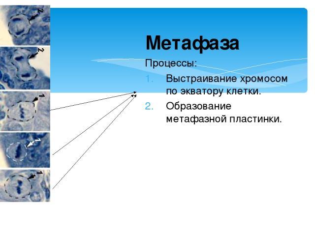 Метафаза Процессы: Выстраивание хромосом по экватору клетки. Образование метафазной пластинки.