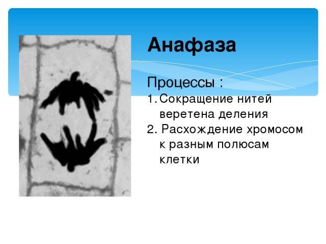 Анафаза Процессы : Сокращение нитей веретена деления 2. Расхождение хромосом к разным полюсам клетки