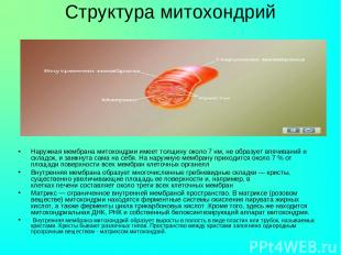 Структура митохондрий Наружная мембрана митохондрии имеет толщину около 7 нм, не