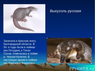 Выхухоль русская Занесена в Красную книгу Белгородской области. В 50- е годы был