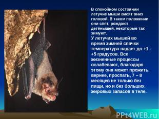 В спокойном состоянии летучие мыши висят вниз головой. В таком положении они спя