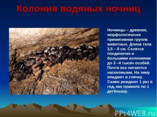 Колония водяных ночниц Ночницы – древняя, морфологически примитивная группа живо