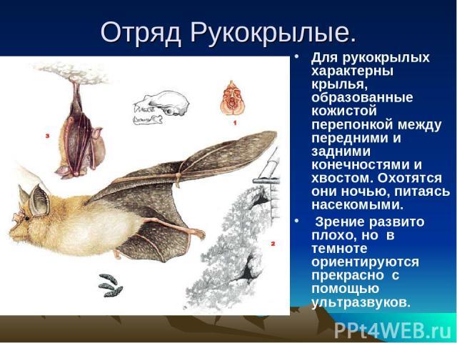 Отряд Рукокрылые. Для рукокрылых характерны крылья, образованные кожистой перепонкой между передними и задними конечностями и хвостом. Охотятся они ночью, питаясь насекомыми. Зрение развито плохо, но в темноте ориентируются прекрасно с помощью ультр…