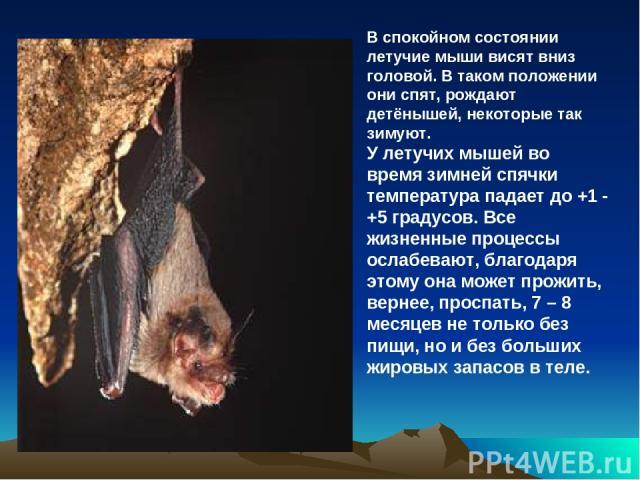 В спокойном состоянии летучие мыши висят вниз головой. В таком положении они спят, рождают детёнышей, некоторые так зимуют. У летучих мышей во время зимней спячки температура падает до +1 - +5 градусов. Все жизненные процессы ослабевают, благодаря э…