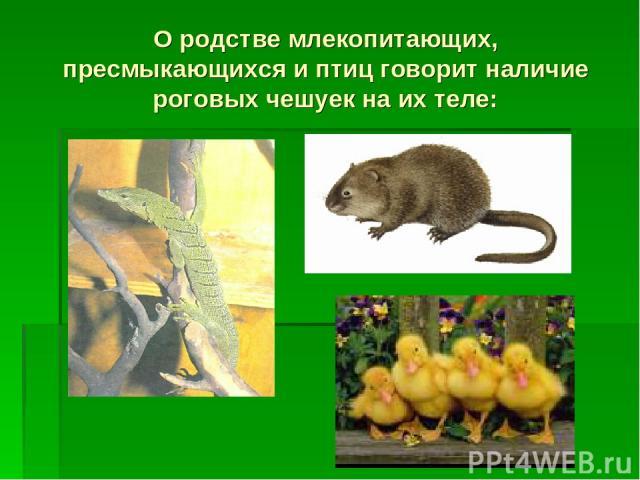 О родстве млекопитающих, пресмыкающихся и птиц говорит наличие роговых чешуек на их теле:
