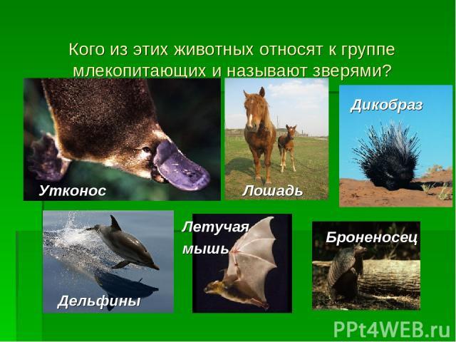 Кого из этих животных относят к группе млекопитающих и называют зверями? Утконос Лошадь Дикобраз Дельфины Летучая мышь Броненосец