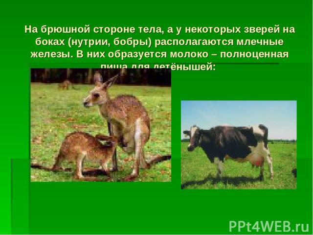 На брюшной стороне тела, а у некоторых зверей на боках (нутрии, бобры) располагаются млечные железы. В них образуется молоко – полноценная пища для детёнышей: