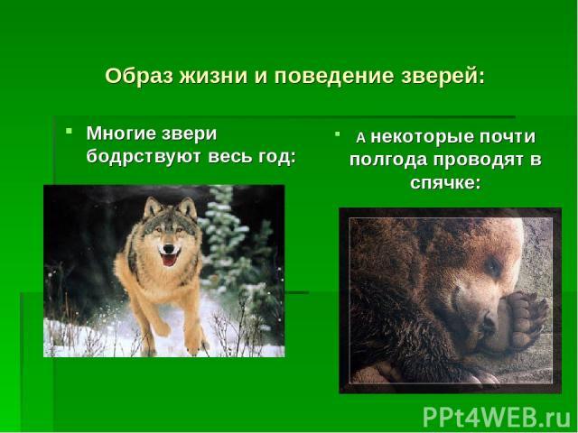 Образ жизни и поведение зверей: Многие звери бодрствуют весь год: А некоторые почти полгода проводят в спячке: