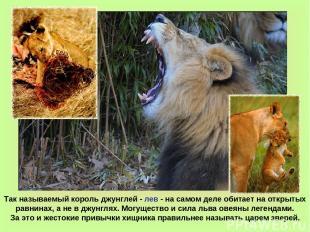Так называемый король джунглей - лев - на самом деле обитает на открытых равнина