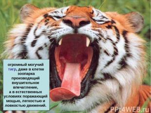 огромный могучий тигр, даже в клетке зоопарка производящий внушительное впечатле