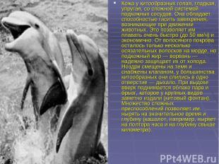 Кожа у китообразных голая, гладкая, упругая, со сложной системой подкожных сосуд