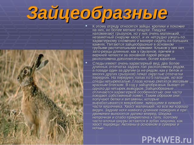 Зайцеобразные К этому отряду относятся зайцы, кролики и похожие на них, но более мелкие пищухи. Пищухи напоминают грызунов, но у них очень маленький, незаметный снаружи хвост, и их нетрудно узнать по характерному сложению и манере сидеть на больших …