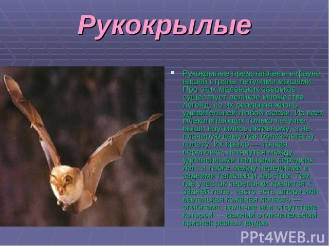Рукокрылые Рукокрылые представлены в фауне нашей страны летучими мышами. Про этих маленьких зверьков существует великое множество легенд, но их реальная жизнь удивительней любой сказки. Из всех млекопитающих только летучие мыши научились активному, …