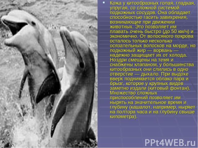 Кожа у китообразных голая, гладкая, упругая, со сложной системой подкожных сосудов. Она обладает способностью гасить завихрения, возникающие при движении животных. Это позволяет им плавать очень быстро (до 50 км/ч) и экономично. От волосяного покров…