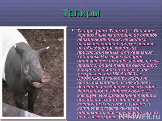 Тапиры Тапиры (лат. Tapirus) — большие травоядные животные из отряда непарнокопытных, несколько напоминающие по форме свинью, но обладающие коротким, приспособленным для хватания хоботом. Размеры тапиров отличаются от вида к виду, но как правило, дл…