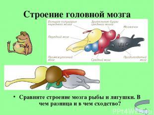 Строение головной мозга Сравните строение мозга рыбы и лягушки. В чем разница и