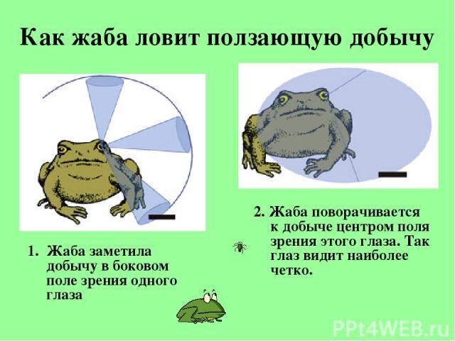 Как жаба ловит ползающую добычу Жаба заметила добычу вбоковом поле зрения одного глаза 2. Жаба поворачивается кдобыче центром поля зрения этого глаза. Так глаз видит наиболее четко.