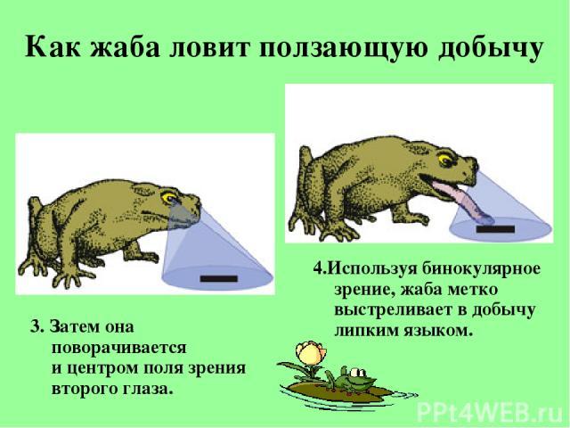 Как жаба ловит ползающую добычу 3. Затем она поворачивается ицентром поля зрения второго глаза. 4.Используя бинокулярное зрение, жаба метко выстреливает в добычу липким языком.
