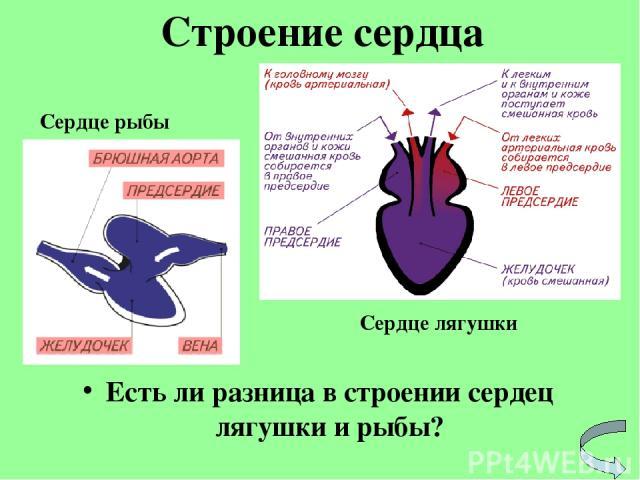 Есть ли разница в строении сердец лягушки и рыбы? Строение сердца Сердце рыбы Сердце лягушки