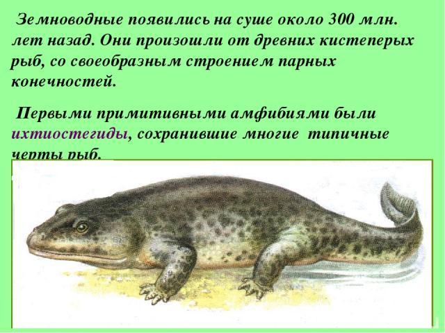 Земноводные появились на суше около 300 млн. лет назад. Они произошли от древних кистеперых рыб, со своеобразным строением парных конечностей. Первыми примитивными амфибиями были ихтиостегиды, сохранившие многие типичные черты рыб.