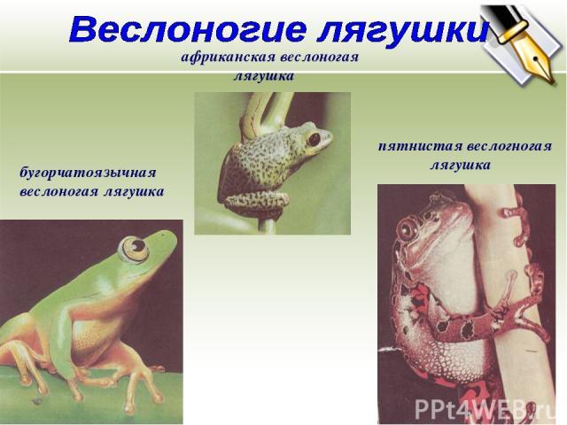 бугорчатоязычная веслоногая лягушка африканская веслоногая лягушка пятнистая веслогногая лягушка