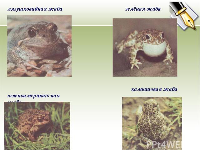 лягушковидная жаба зелёная жаба камышовая жаба южноамериканская жаба