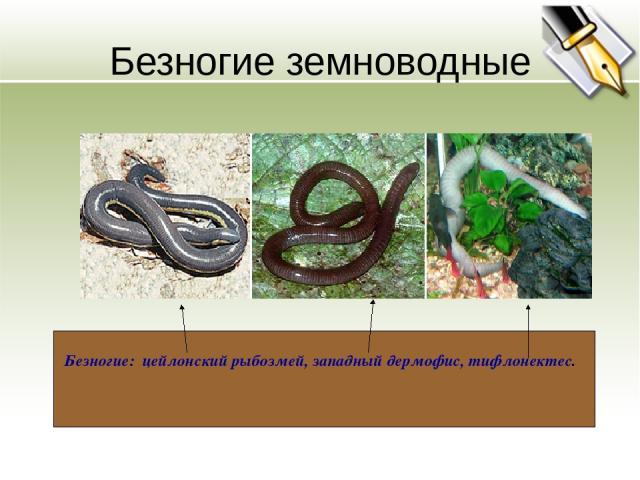 Безногие земноводные Безногие: цейлонский рыбозмей, западный дермофис, тифлонектес.