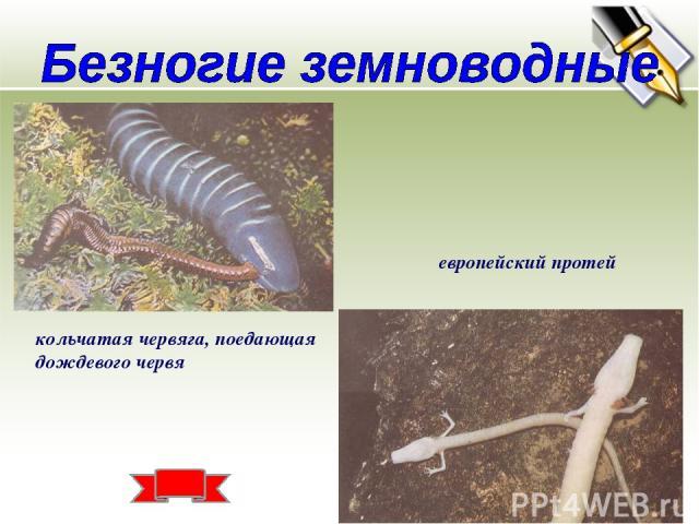 кольчатая червяга, поедающая дождевого червя европейский протей