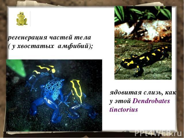 регенерация частей тела ( у хвостатых амфибий); ядовитая слизь, как у этой Dendrobates tinctorius