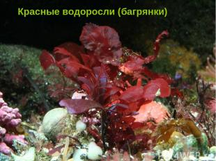 Красные водоросли Красные водоросли Красные водоросли (багрянки)