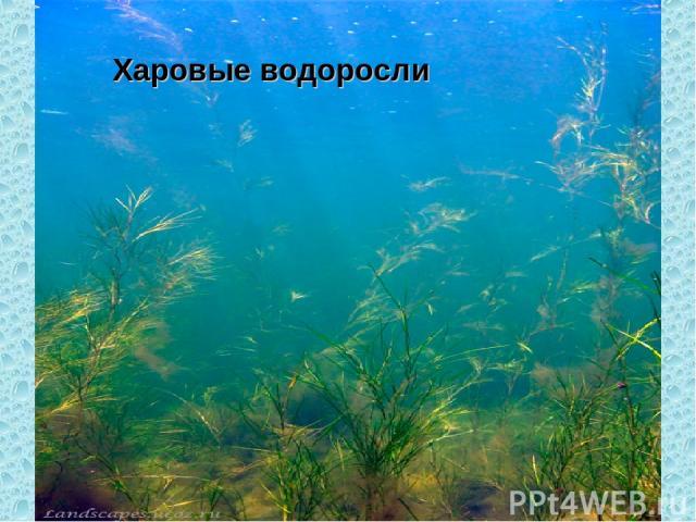 Харовые водоросли