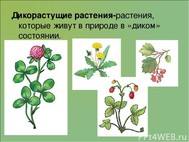 Дикорастущие растения-растения, которые живут в природе в «диком» состоянии.