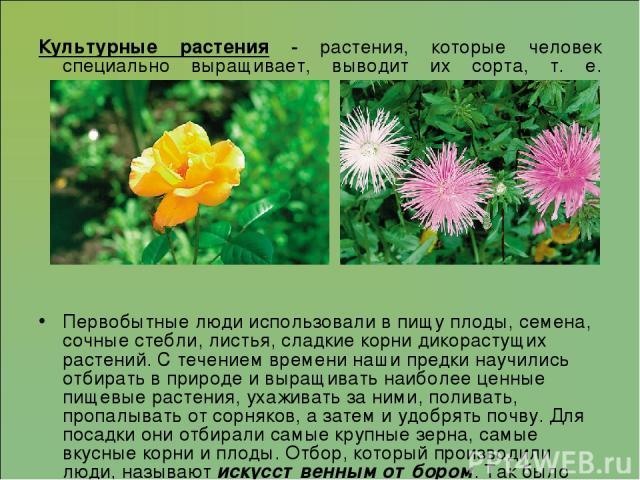 Культурные растения - растения, которые человек специально выращивает, выводит их сорта, т. е. культивирует. Первобытные люди использовали в пищу плоды, семена, сочные стебли, листья, сладкие корни дикорастущих растений. С течением времени наши пред…