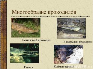 Многообразие крокодилов Кайман черный Узкорылый крокодил Гавиал Гавиаловый кроко