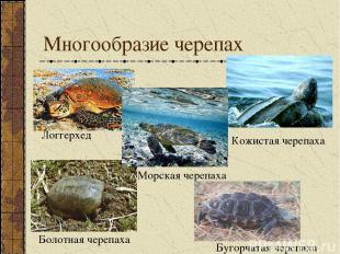 Многообразие черепах Логгерхед Кожистая черепаха Морская черепаха Болотная череп