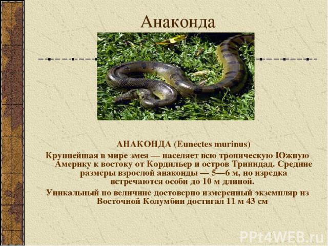 Анаконда АНАКОНДА (Eunectes murinus) Крупнейшая в мире змея — населяет всю тропическую Южную Америку к востоку от Кордильер и остров Тринидад. Средние размеры взрослой анаконды — 5—6 м, но изредка встречаются особи до 10 м длиной. Уникальный по вели…