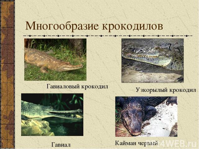 Многообразие крокодилов Кайман черный Узкорылый крокодил Гавиал Гавиаловый крокодил