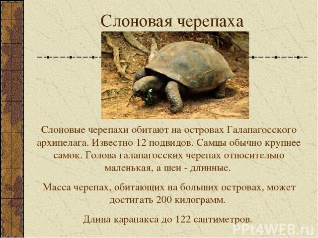 Слоновая черепаха Слоновые черепахи обитают на островах Галапагосского архипелага. Известно 12 подвидов. Самцы обычно крупнее самок. Голова галапагосских черепах относительно маленькая, а шеи - длинные. Масса черепах, обитающих на больших островах, …