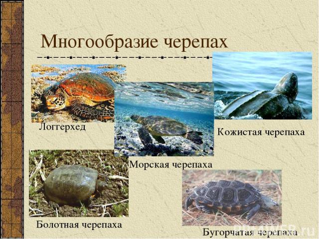 Многообразие черепах Логгерхед Кожистая черепаха Морская черепаха Болотная черепаха Бугорчатая черепаха