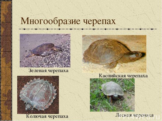 Многообразие черепах Зеленая черепаха Каспийская черепаха Колючая черепаха Лесная черепаха